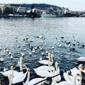 Labutí jezero v Praze 🦢od @hezkypesky 👏 . . . #rekavltavaig #rekavltava #vltavariverig #vltavariver #usek5ig #usek5 …